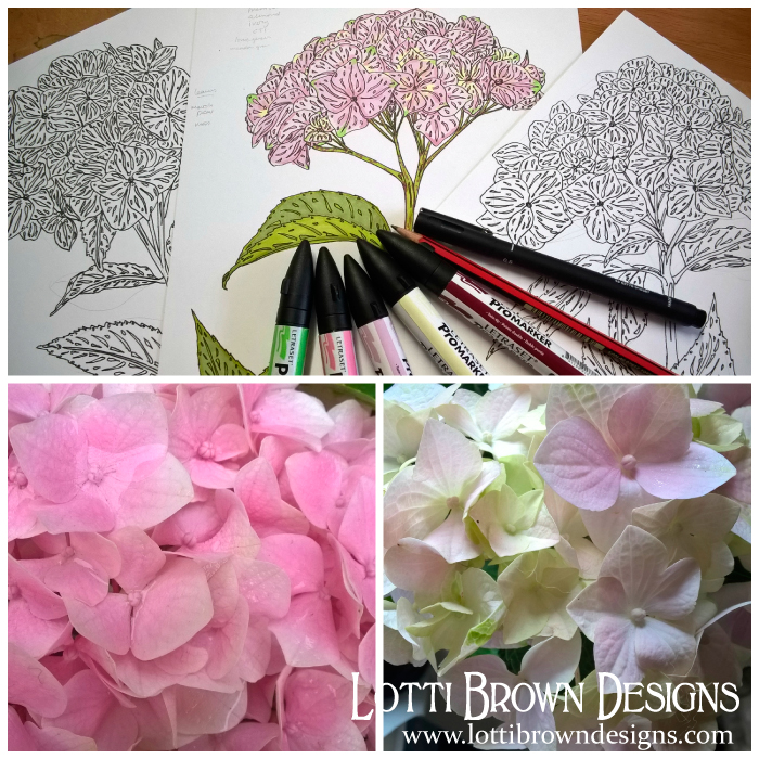 Hydrangeas Drawings