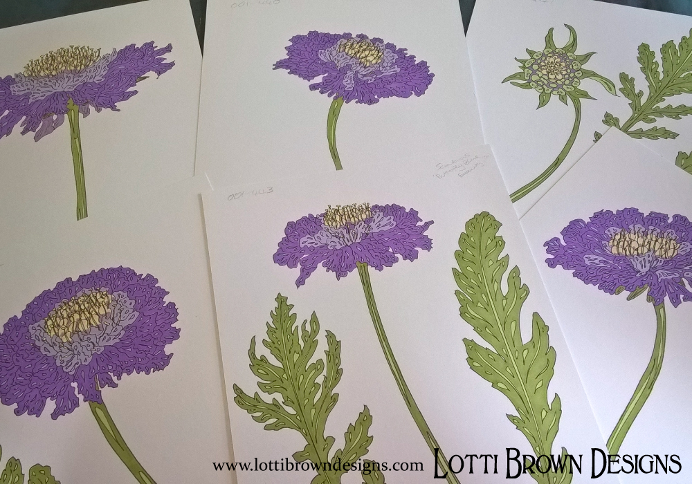 Pretty purple scabious flowers, drawings
