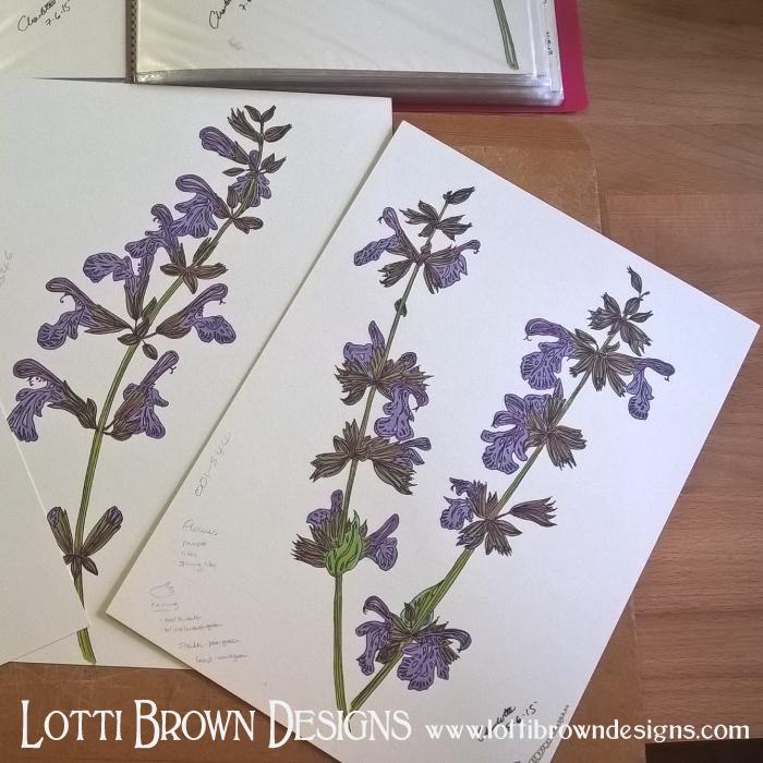 Purple Salvia drawings