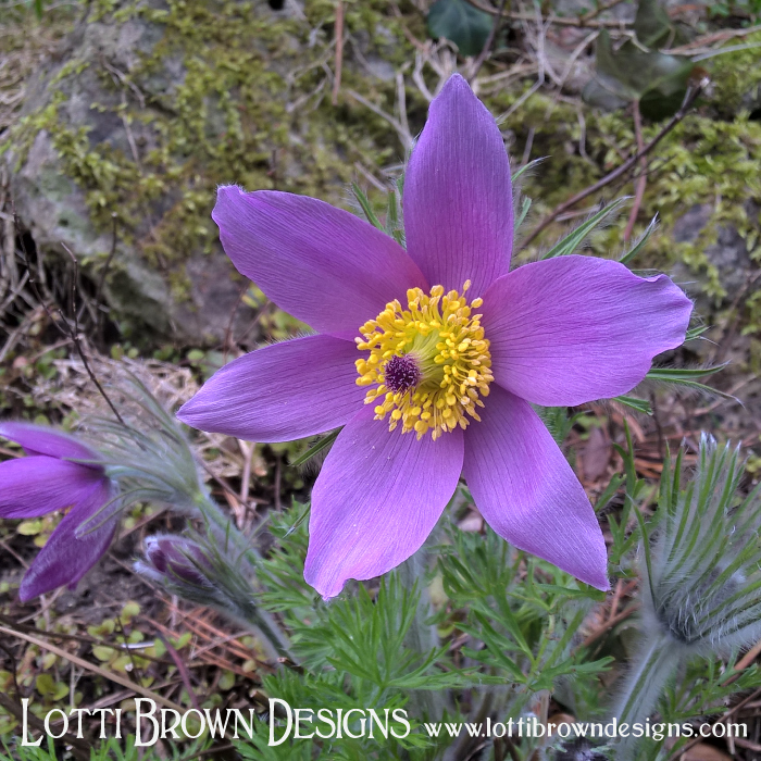 Beautiful purple springtime anemone flower