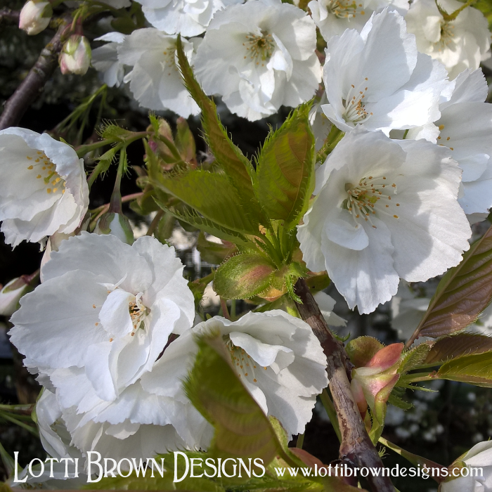 Voluptuous white cherry blossoms - smell deliciously sweet