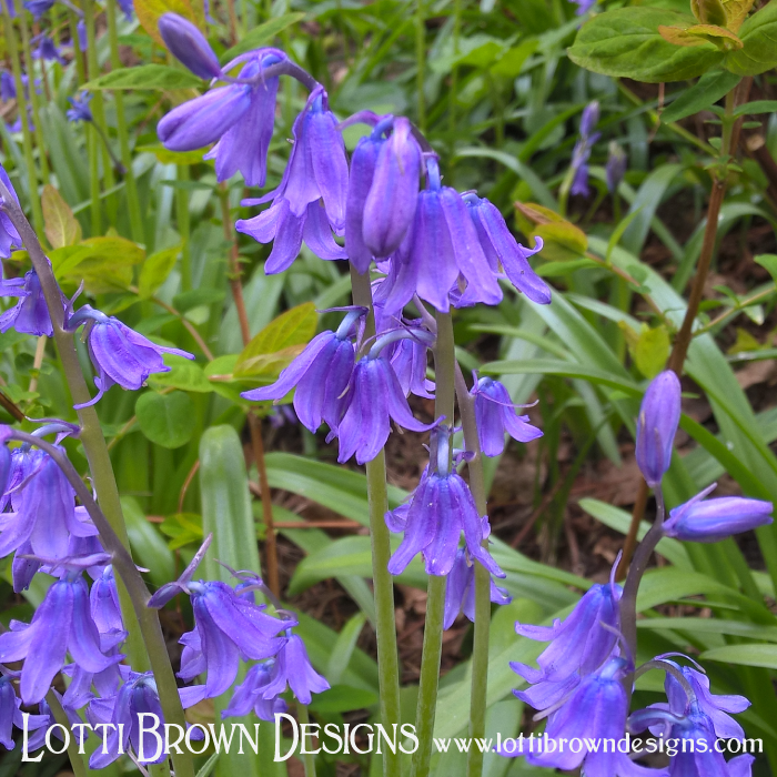 Bluebells love to grow in woodland areas in late April through early May