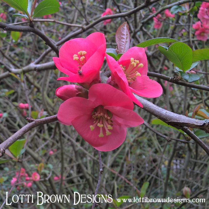 Flowering quince, with beautiful waxy red flowers
