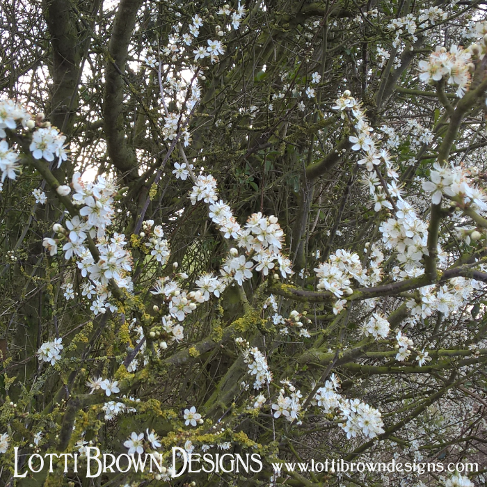 Don't confuse this blackthorn with hawthorn - it flowers earlier, and you can tell the difference as blackthorn flowers before leaves, hawthorn after leaves.