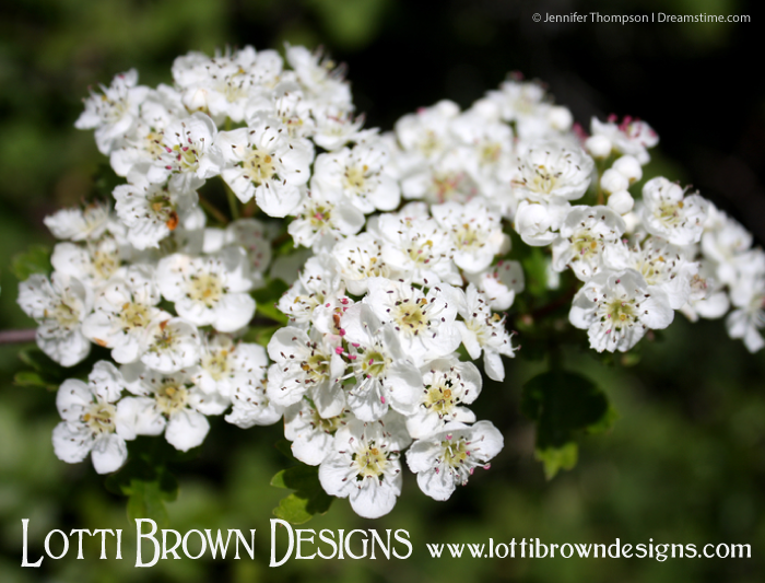 May blossoms on the hawthorn (Latin name Crataegus) also sometimes known as the whitethorn