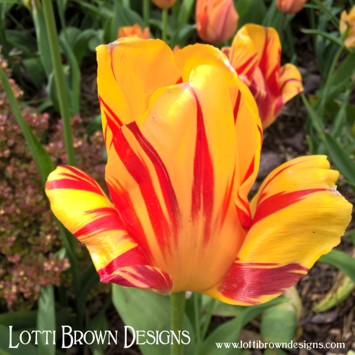 Bold, bright and beautiful - yellow and red striped tulip