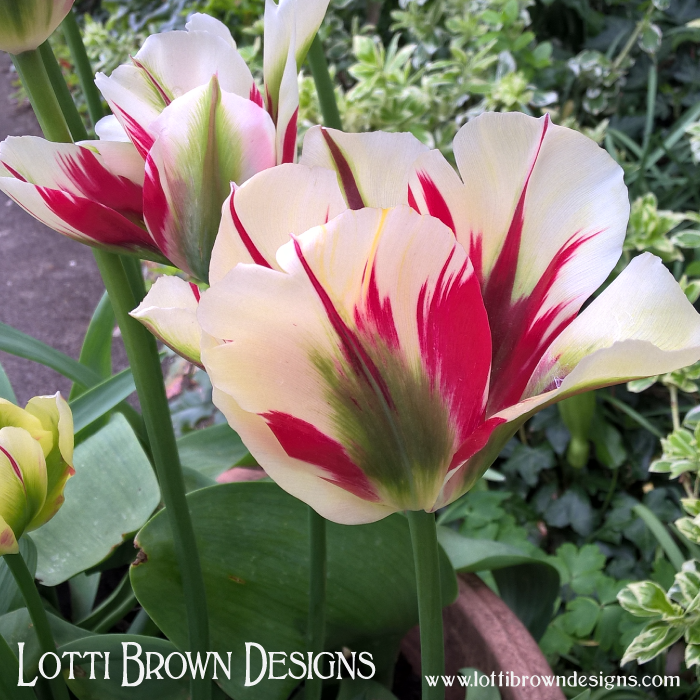 Variegated tulips for beautiful eyes