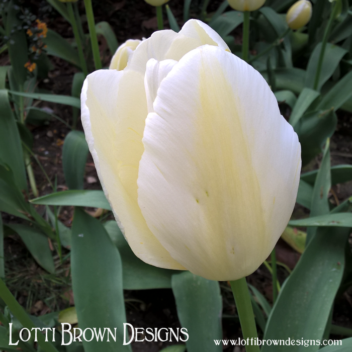 White tulips for worthiness, and forgiveness (giving and receiving)