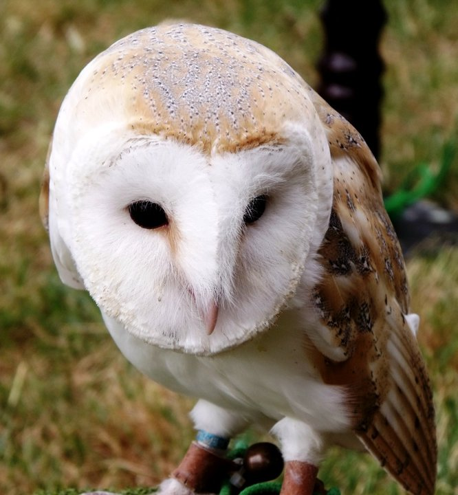 Barn owl (from a local bird-of-prey centre)