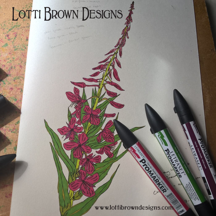 Coloured drawing of the Fireweed