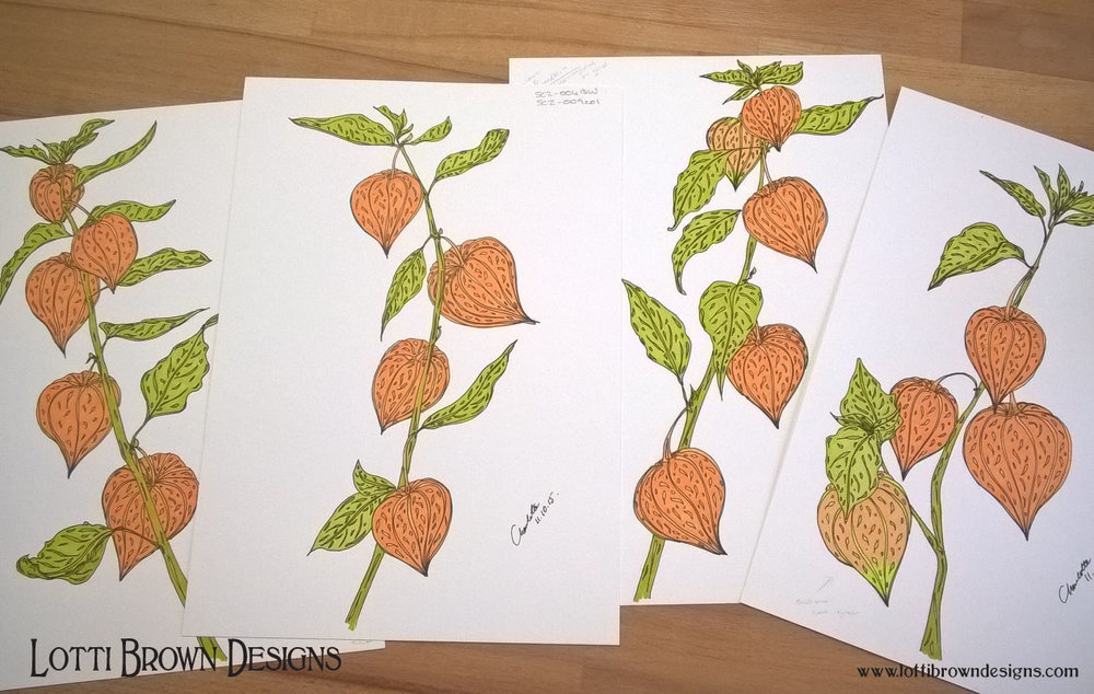 Physalis drawings
