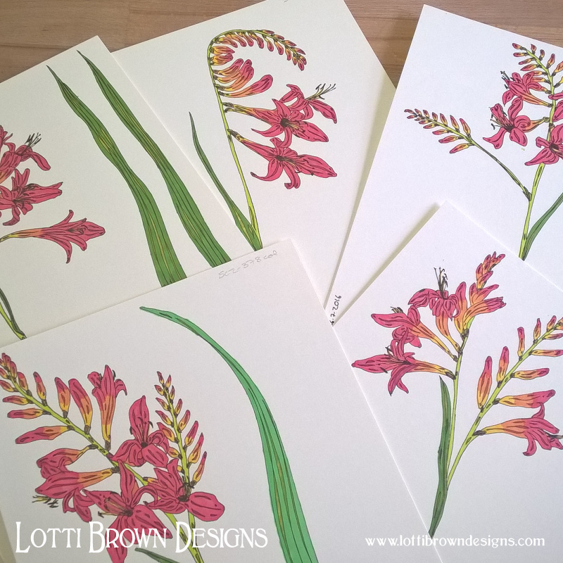 Tropical crocosmia drawings, from my own garden