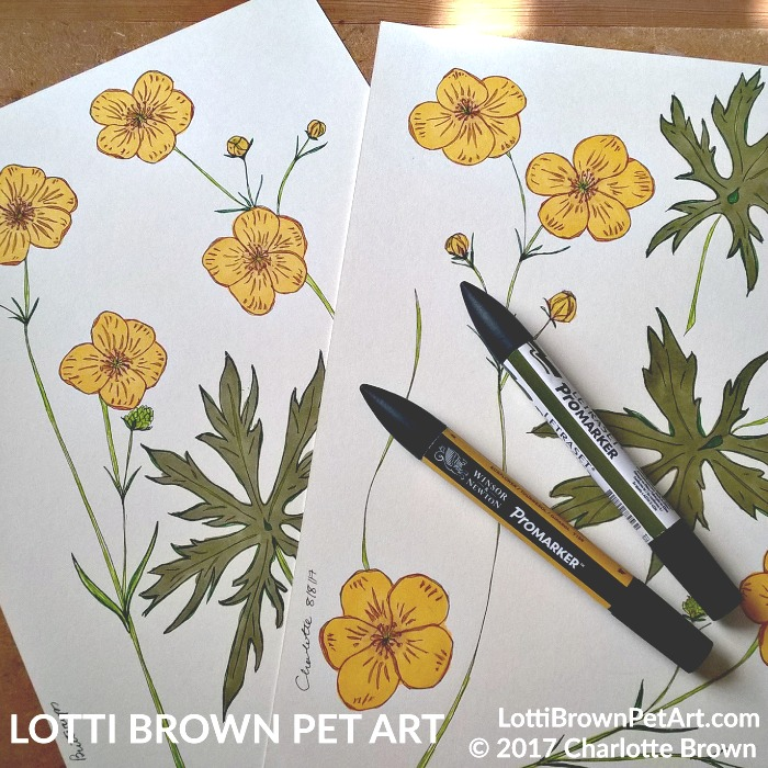 Drawing meadow buttercups