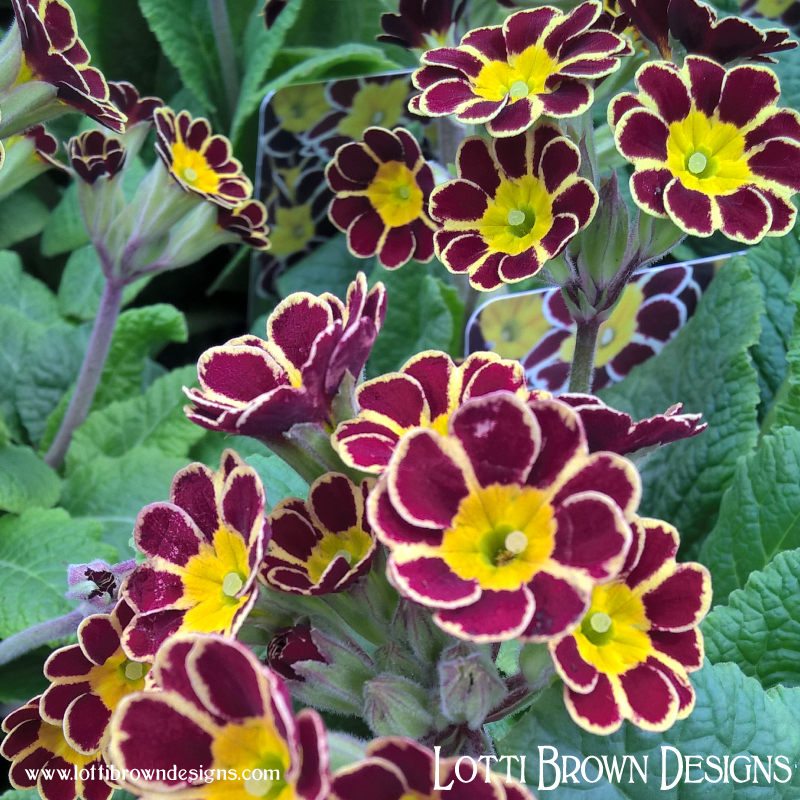 I love these old-fashioned, two-colour primulas