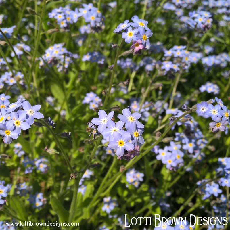 Forget-me-nots growing wild in Shropshire