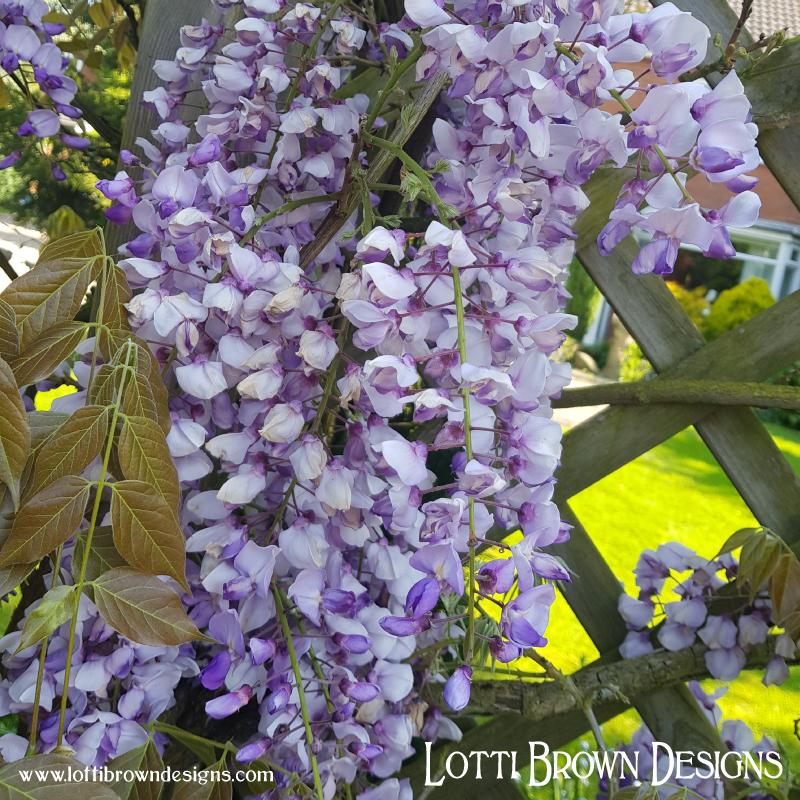 Delicate wisteria flowers