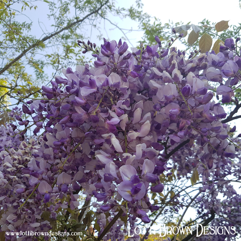 Wonderful soft lilac colours - delicate wisteria blooms
