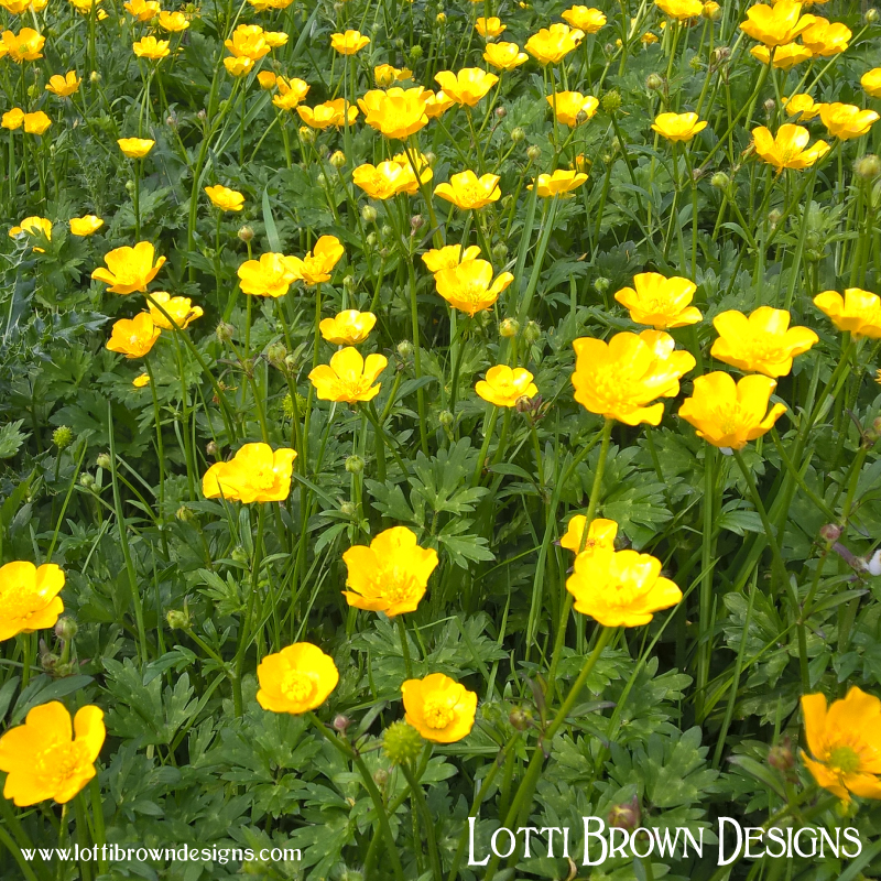 Gorgeous golden buttercups growing at Fox Corner