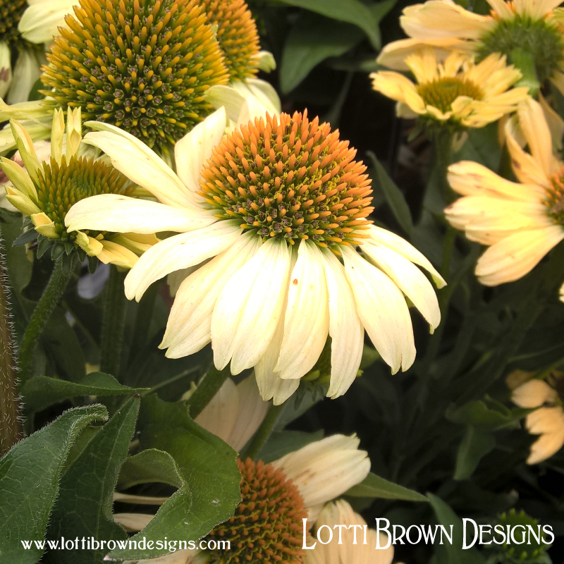 Pretty coneflower