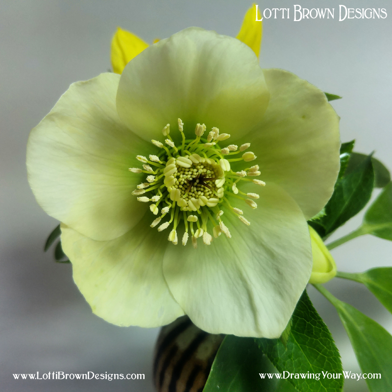 Hellebore drawing inspiration