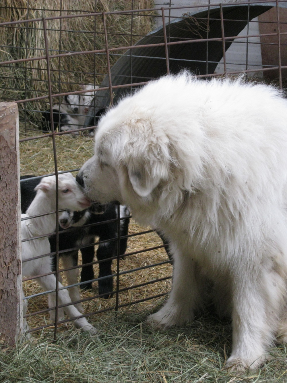 nettie kissing goat
