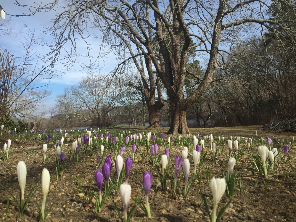 Crocus blooming in Marstons Mills, MA -- Friday March 11, 2016 -- the unofficial start of spring.