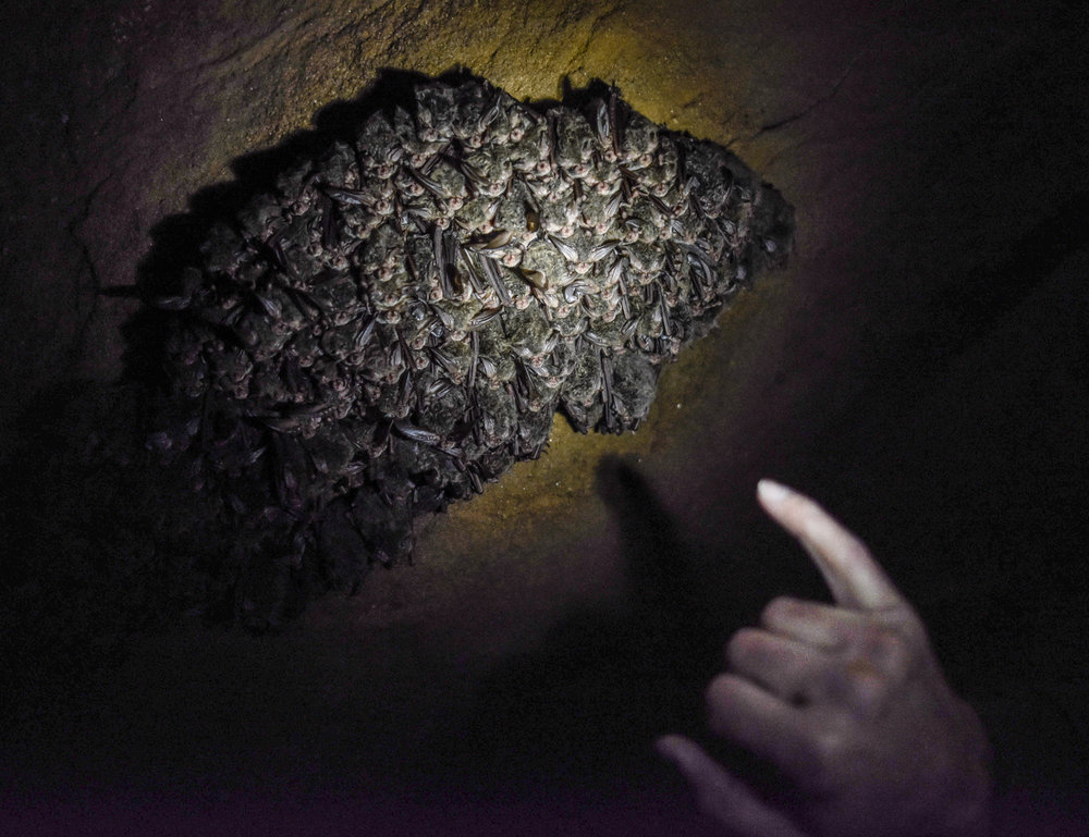 Thomas counts a colony of Rafinesque's Big-Eared bat.