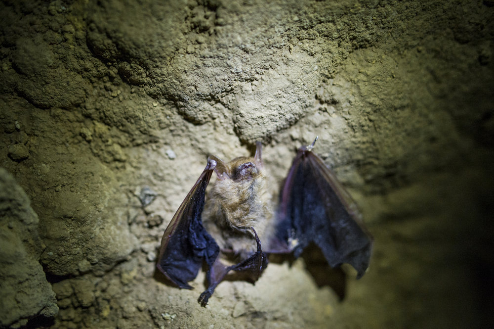 A recently deceased Little Brown Bat displaying symptoms of White-Nose Syndrome