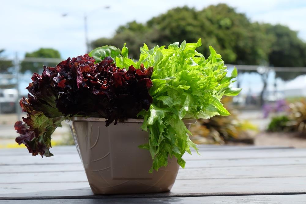 TWM Artisan Lettuce