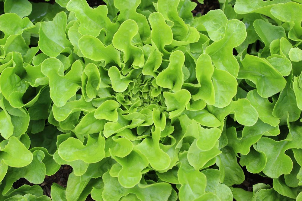 Lettuce, Salanova.jpg