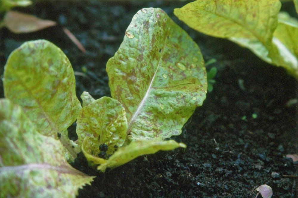 Lettuce, Speckled-ebz.jpg