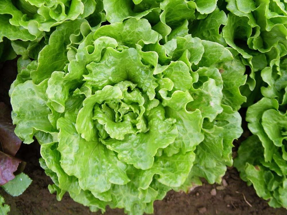 Salanova, Green Crisphead