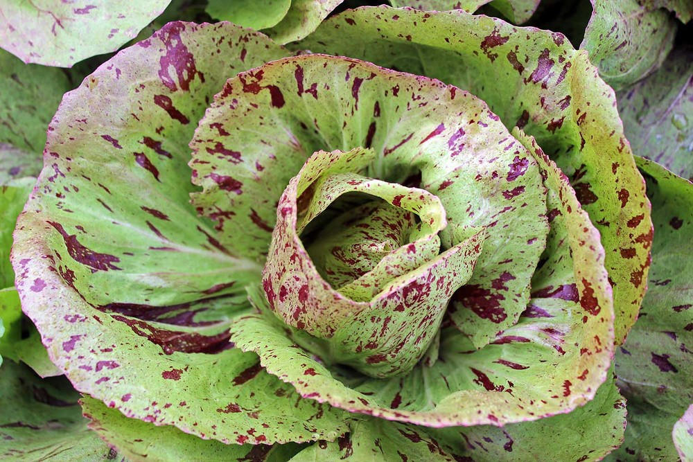 Chicory, Variegata di Castelfranco, Heirloom - Italy