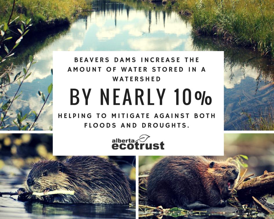 Alberta Beavers