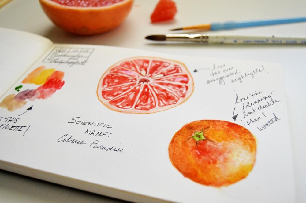 watercolor grapefruit illustration