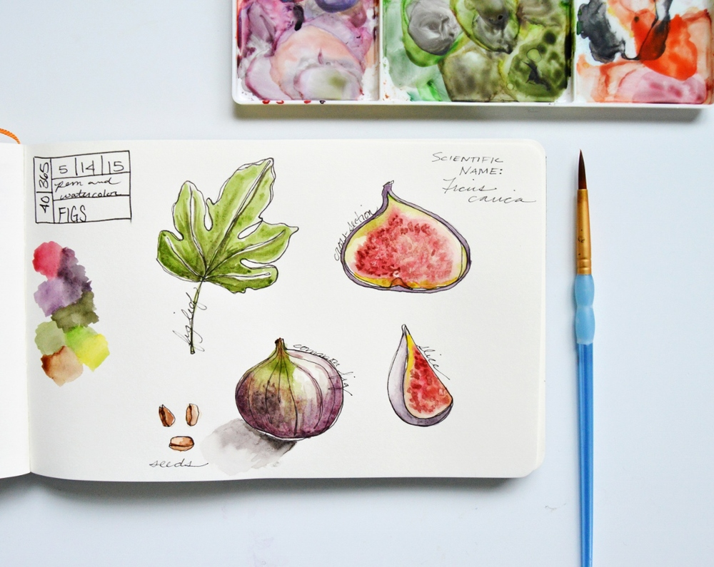 Watercolor Illustration | Figs