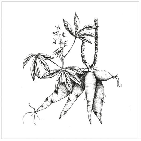 Cassava PA.jpg