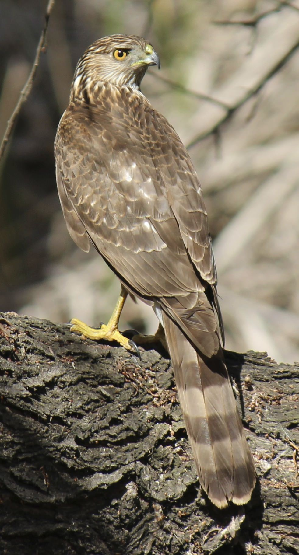 Juvenile Cooper's Hawk. Photo by Katie Sweeney.