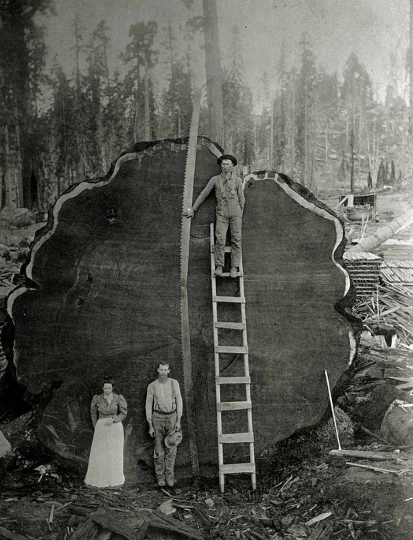 The Mark Twain tree is a famous tree whose stump can be seen in Kings Canyon National Park, cross sections of the tree were sent to New York City and London where they are on display