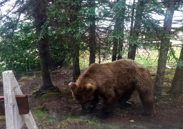 Obligatory bear photo, this sow was about 8-yards away. We were in the visitor's center, luckily