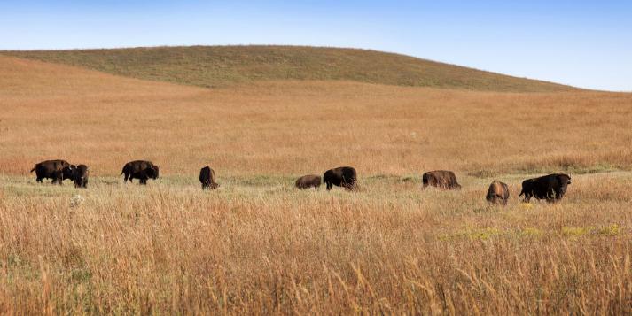 Tallgrass Prairie has buffalo, I want to go!