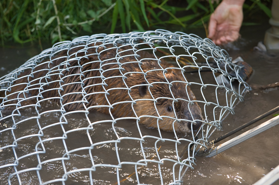 "Beaver in ""live"" trap. Photo: Sally Thomson Photography"