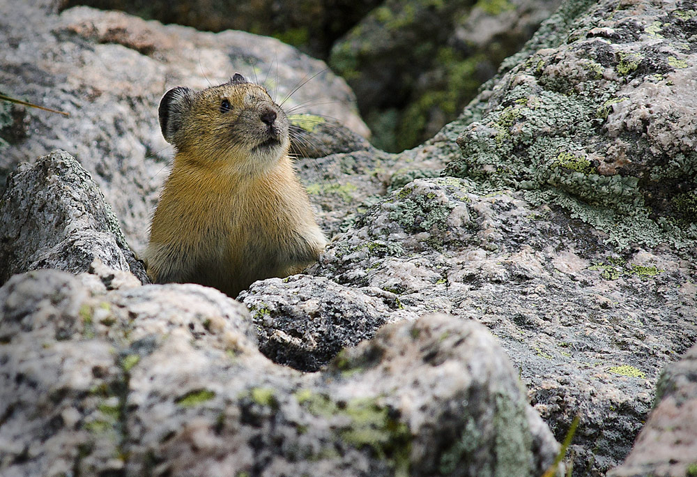 Pika, Photo Sally Thomson