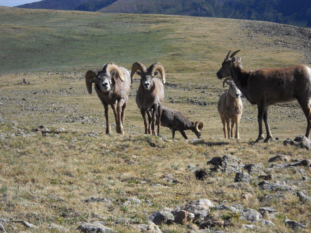 Bighorn sheep in Pecos Wilderness