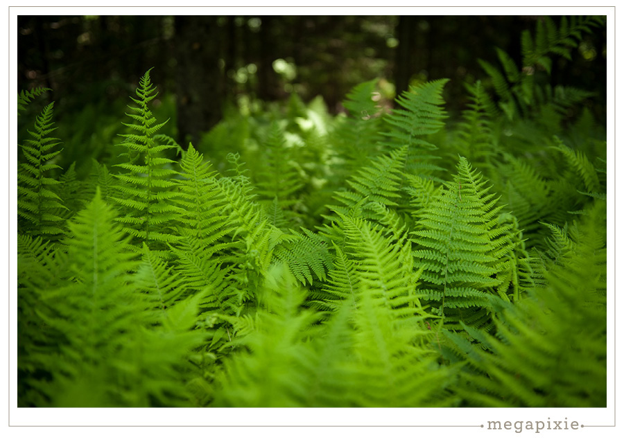Ferns Linekin Bay Maine