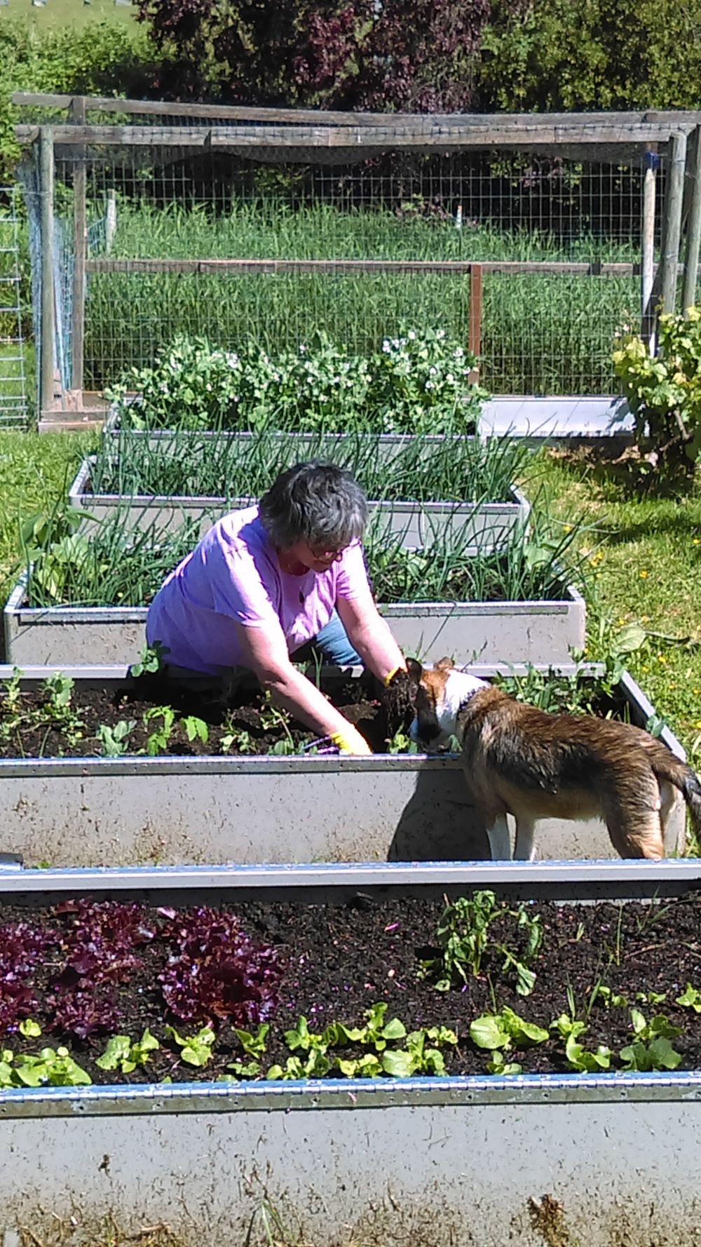 This is Patti,  awesome volunteer from Brookhaven, planting cukes and tomatoes in our 'lower world' organic garden in Freeland, Old Beach Road Farm.  Farm Pup Izzy is 'helping' her!   We could not do this without the help and support of all our volunteers!