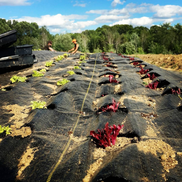 Also making use of landscape fabric to artificially keep the soil covered for transplants. These are lettuce plugs going into landscape fabric for the SARE grant. [7/3/17]