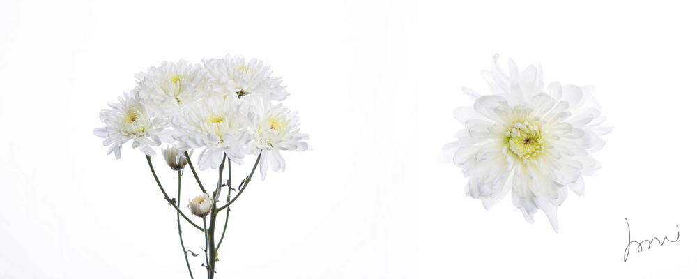 Chrysanthimum copy.jpg