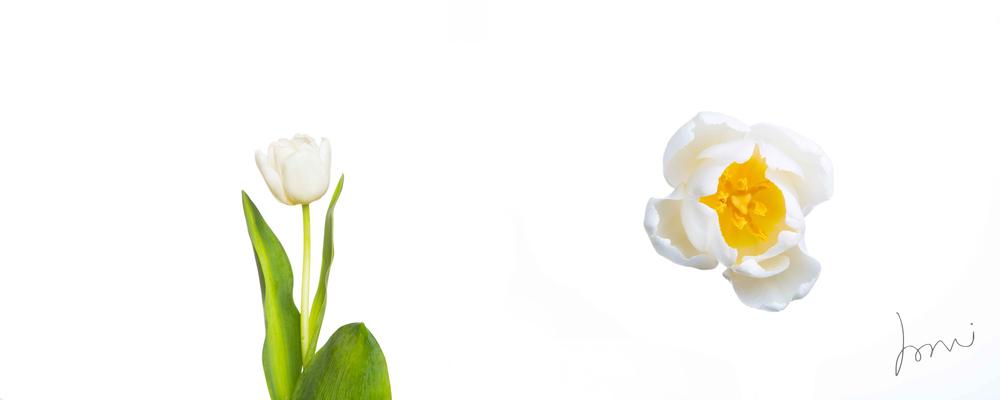 tulip copy.jpg