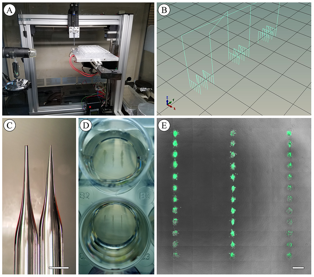 Design of the 3D bioprinting platform. (a) Adapted commercially available 3D printer. (b) Example of machine path during insertion routine. (c) Pulled-glass microneedle. Scale bar 1mm. (d) 24 well plate containing 3D bioprinted mammary epithelial organoids 14 days post-printing. (e) Bioprinted MCF- 12A organoids 7 days post-printing. Scale bar 500μm.